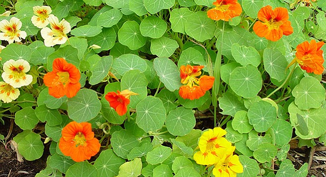 Nasturtium is a Peruvian plant with multicolored petals and leaves said to taste like watercress.