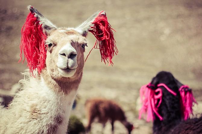 A llama in Peru