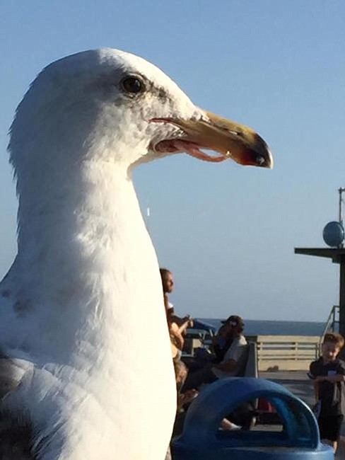 "He's ""just fine,"" say observers keeping tabs on this seagull"