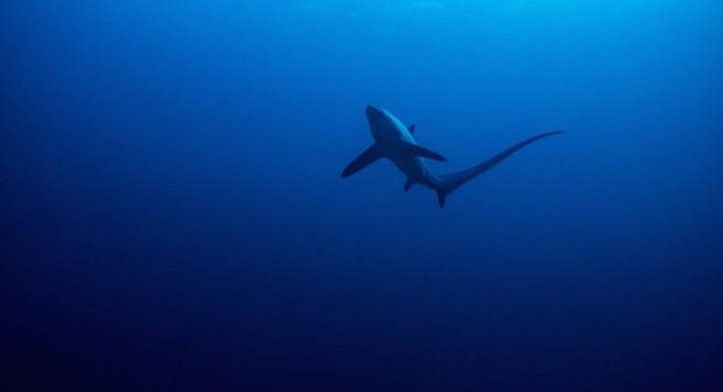 Common thresher shark - Image by bearacreative/iStock/Thinkstock