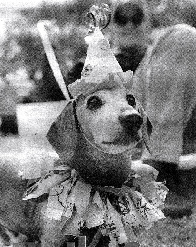 Entry at Hallo-Weiner Dachshund Picnic, October 26. Newsday gossip columnist Liz Smith's dogs are dressed up like clowns with the face ruff. - Image by Sandy Huffaker, Jr.