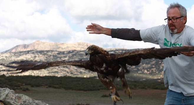 Bob Fisher releases a golden eagle with a tracking device