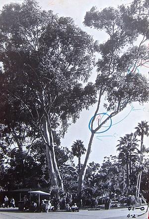 San Diego Zoo eucalyptus that killed Frieda Willams (trial evidence)