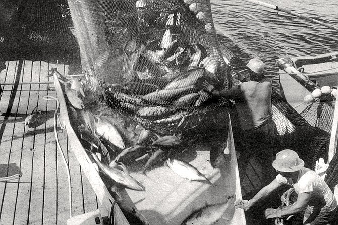 """A catch is hauled aboard a San Diego tuna seiner. Many of the older generation think that the dolphin activists """"ruined a beautiful industry."""" - Image by Dave Bratten"""