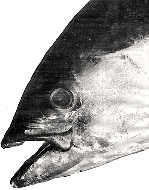 The tuna industry is still based in San Diego, because most of the boats are owned by San Diego families — the Zolezzis, the Castagnolas, the DaRosas, the Virissimos, the DeSilvas, the Silvas,