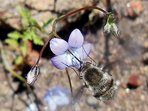 Hovering bee fly drinking nectar from caraway leafed gilia