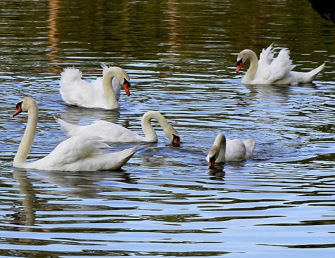 Lakeland's Royal Swans