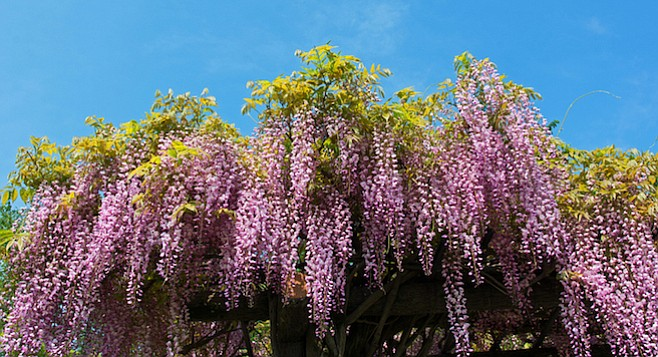 The late Henry Huntington once bought a whole garden simply to preserve a superb specimen of wisteria, a vine believed to be the oldest Wisteria floribunda in America.