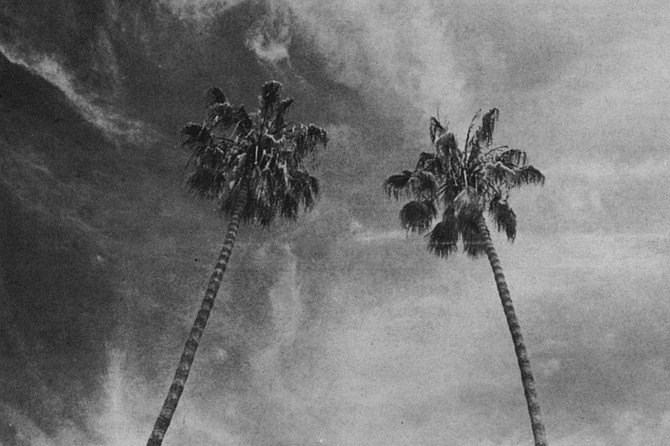 The Mexican Fan Palm - a poor excuse for a shade tree, but is welcome in places where people want a skyline without tall buildings. - Image by Ian Dryden