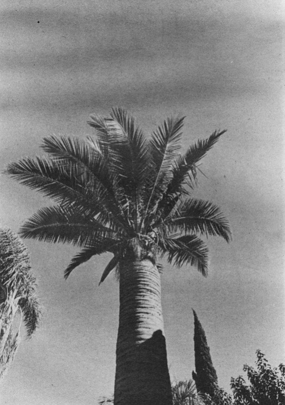 The Wine Palm - distinguished by its monumental trunk. All sorts of liquor can be made from it.