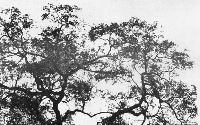 Engelmann oak is a species that grows virtually nowhere outside of Southern California and is found primarily in the inland valleys of San Diego County.