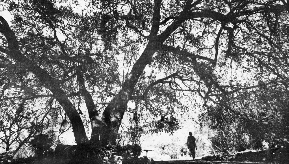 """Ryan's oak tree, Quella. """"It was fully grown when my father first came here in 1887, so it's well over one hundred years old."""""""