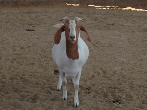 A goat named Ham