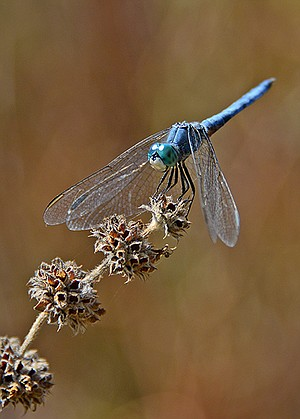 Dragonflies have wings perpendicular to their bodies.