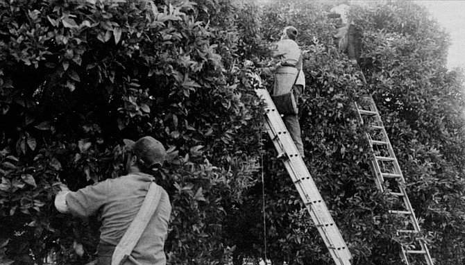 Picking citrus, like riding horses, is more difficult than it appears.  - Image by Dave Allen