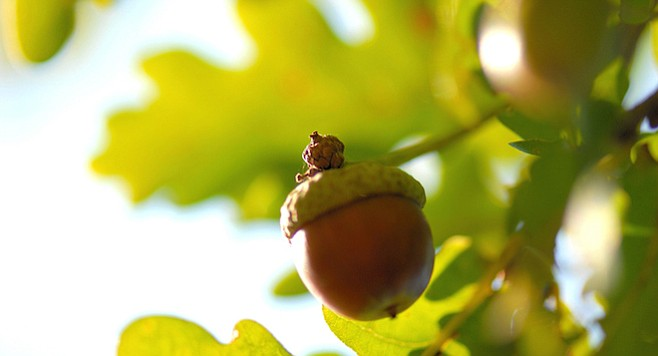 """They poured hot water through baskets of acorns to leach out the bitter-tasting tannin. There were enough oaks at the Pio Pico site to support at most 33 villages. """"The nutrients in the acorns, combined with other foods, provided a complete diet for an individual."""""""
