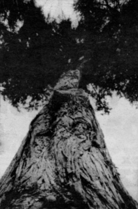 There was once a Monterey cypress growing near the railroad tracks at the end of a street on top of a cliff in old Del Mar. For a hundred years or more, this tree had thrived.