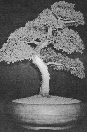 "Shimpaku juniper.  ""Most of the Asian trees were planted in fields and handed down in a family before they ever became bonsai."""