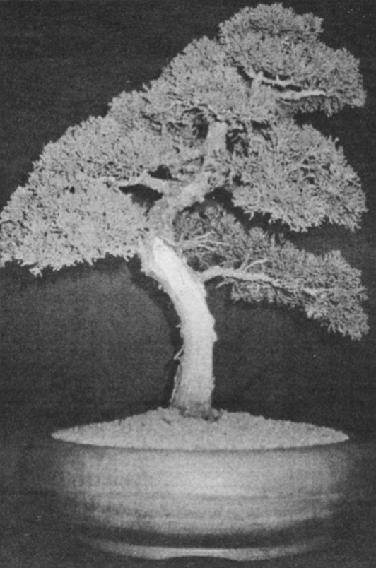 """Shimpaku juniper.  """"Most of the Asian trees were planted in fields and handed down in a family before they ever became bonsai."""""""