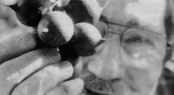 """Tom Cooper: """"I even have a Jewish macadamia nut tree. I brought it back from Israel, where I went to consult for a doctor who was planting a grove there."""" - Image by Sandy Huffaker, Jr."""