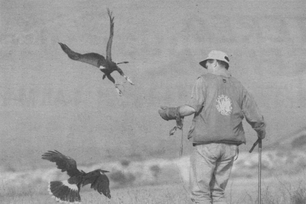 """Hawks return to perch on Mike's forearm. """"They're actually pretty good at catching rattlesnakes. They know which end to worry about."""""""