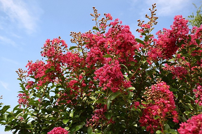 Crape Myrtle: The Lilac of the South