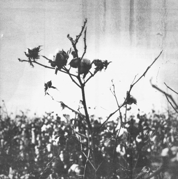 """Cotton.  """"Most of the first farmers were from the Midwest,"""" Keith Mayberry says. """"They knew nothing about farming in the desert."""""""
