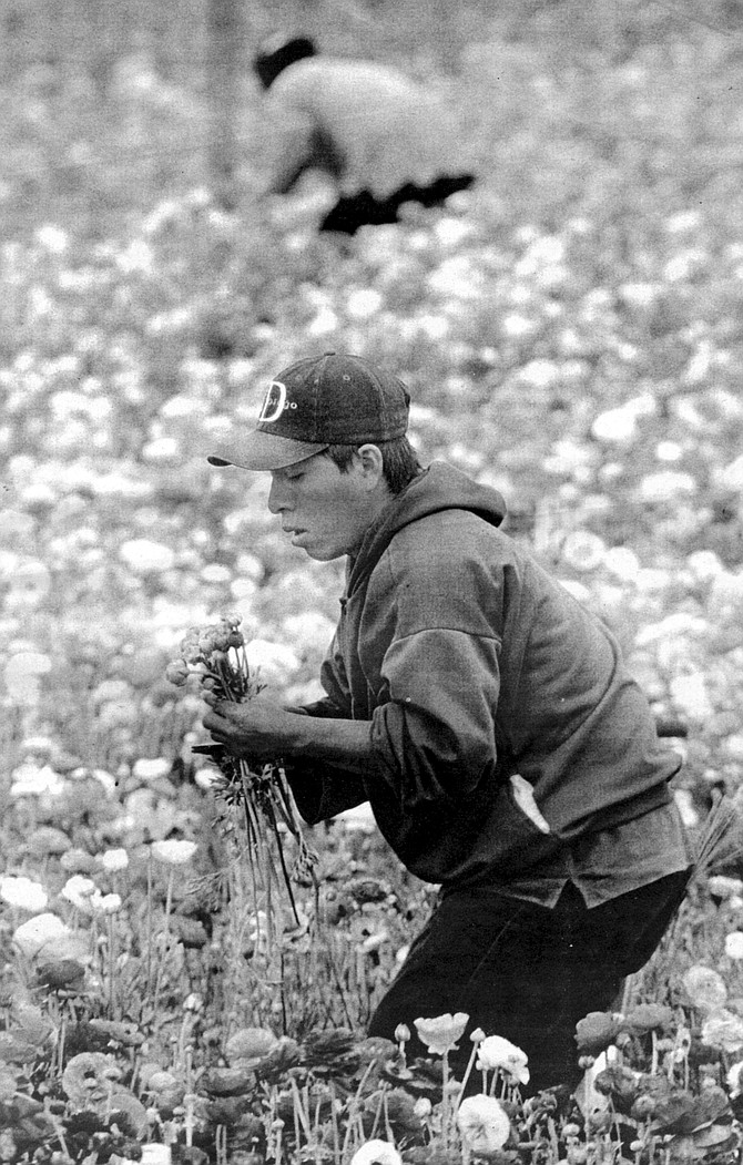 Edwin Frazee planted his first ranunculus seeds on these hills in the 1950s and was at one point the sole provider of ranunculus tubers to the international market. - Image by Sandy Huffaker, Jr.