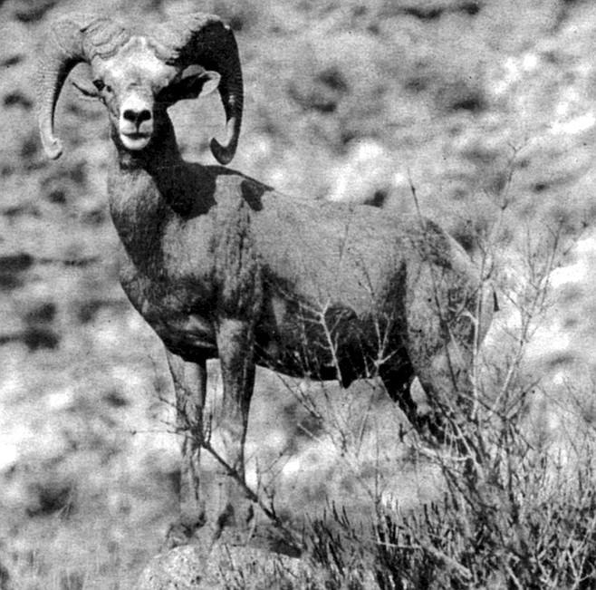 Peninsular bighorn sheep. Males sport distinctive horns, like massive curled cornucopias.