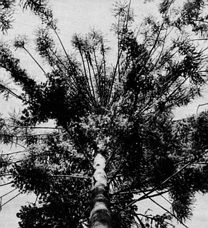 Bunya-bunya/Balboa Park. This tree was Australian aborigines' only form of private property.