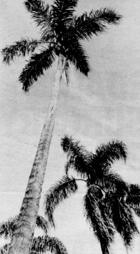 The queen palm dominates Sixth Avenue along Balboa Park.