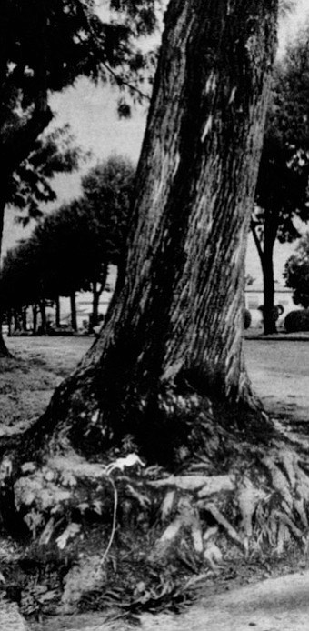 Silk oaks/Rolando Boulevard, East San Diego. The city banned them from parkways in 1964.