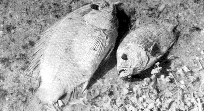 """Dead tilapia. """"I eat tilapia from it every day. My cat Charles did too. And he lived to be 21!"""" - Image by Joe Klein"""