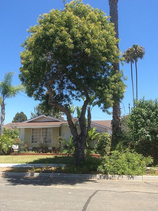 Oops. The pepper tree still stands.