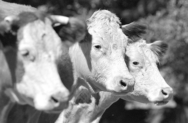 With a herd of 200 cow-calf pairs and a 2450-acre ranch, Cauzza estimates can feed one cow for every 10 to 15 acres.