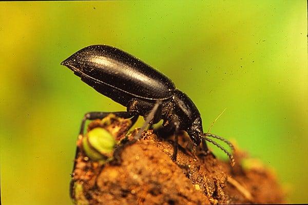 Stink beetles raise their rears in defense mode.
