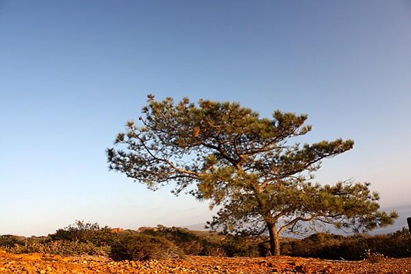 The quintessential Torrey pine