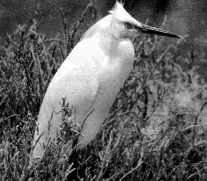 Snowy egret. The Lower Sweetwater Valley property ran parallel to the Sweetwater River flood-control channel, an attraction for riparian birds.