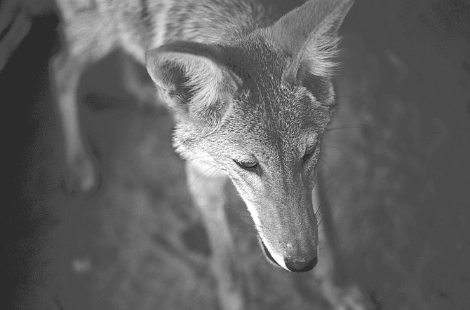 "Coyote at Fund for Animals Wildlife Refuge, Ramona. ""Domestic dogs are more likely to bite you than coyotes. It's safe to walk in these canyons."""