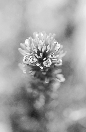 Owl's clover. A single female will lay up to 1200 eggs in masses around the larval food plants plantain and owl's clover.