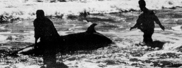 Ginko-toothed beaked whale, Del Mar, 1953. Today, the animal that Gilmore examined remains the only one of its kind ever discovered on the North American continent.