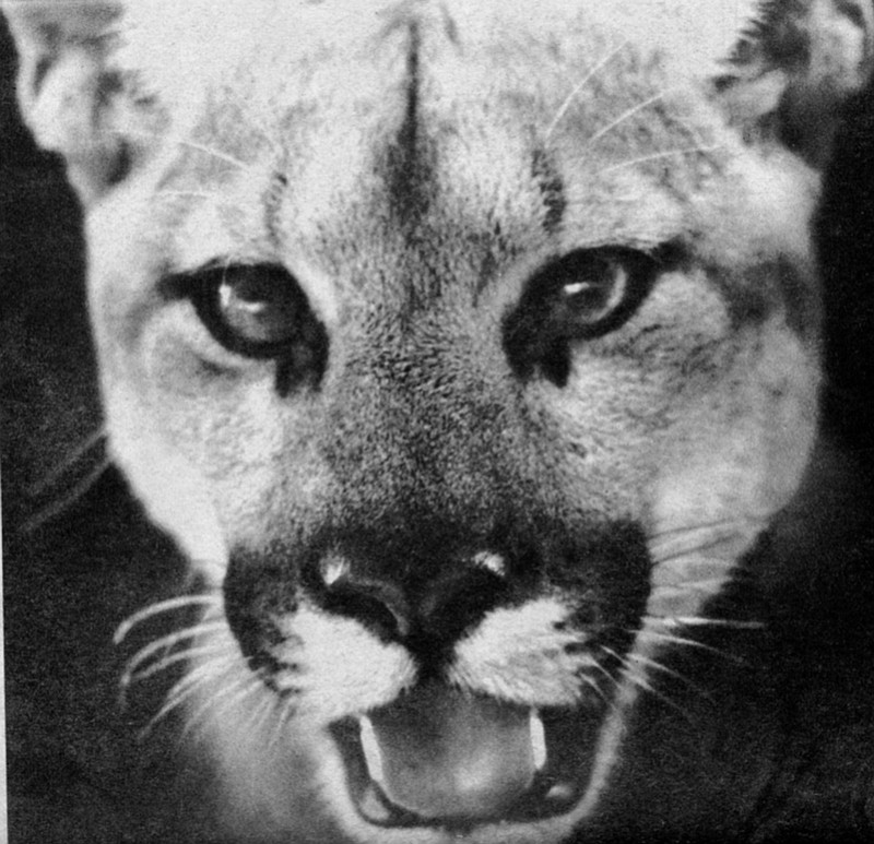 One young lion was killed on Lyons Valley Road, north of Jamul; a second was killed at Camp Pendleton on Las Pulgas Road; and still another lion was killed in Oceanside on Rosicrucian Drive