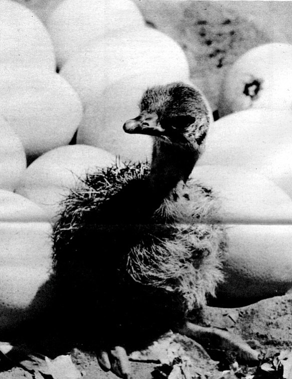 "Baby ostrich. ""Whenever I go to a zoo I find myself being amazed that wild animals should exist at all."""