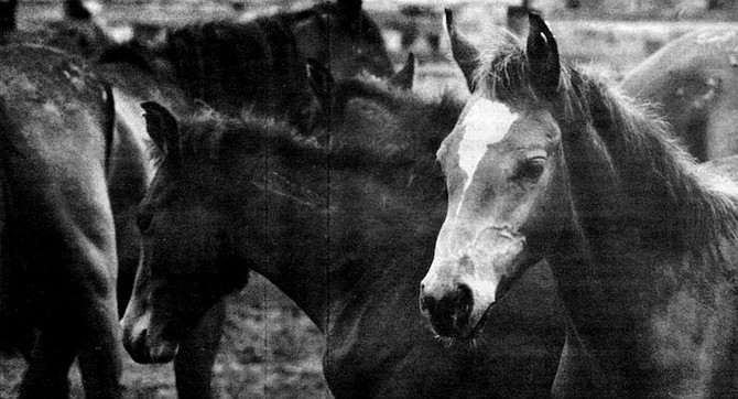 In the spring of 1986, BLM estimated there were forty horses living in the northern portion of Anza-Borrego, in the three tributary canyons of Coyote Creek: Horse Canyon, Nance Canyon, and Tule Canyon.
