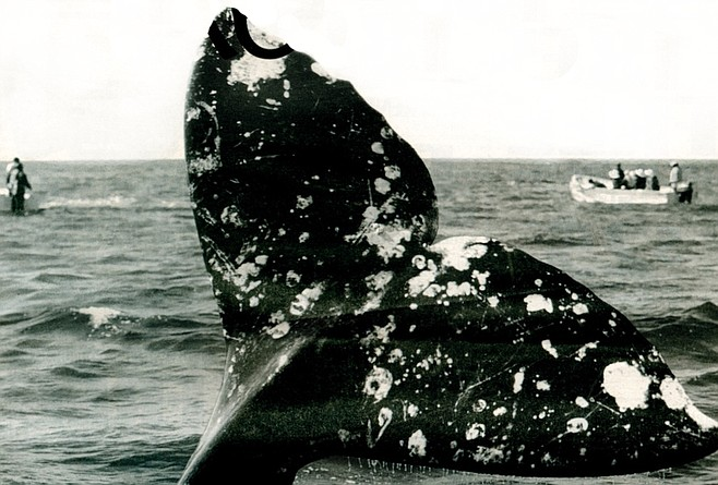 A Whiff Of Whale Breath San Diego Reader