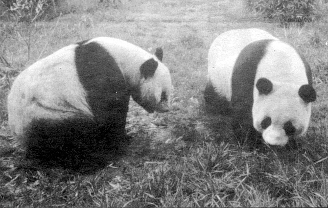 """Shi Shi and Bai Yun. Berman charges that the zoo in reality wanted the pandas in San Diego because """"it's publicity. Increased gate receipts. They're the only zoo in the U.S. to have a pair of pandas at this moment."""""""