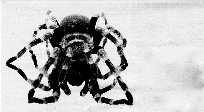 "Hairy Mygalomorph. ""Don't blow on tarantulas. They really hate that; it both frightens and irritates them."""