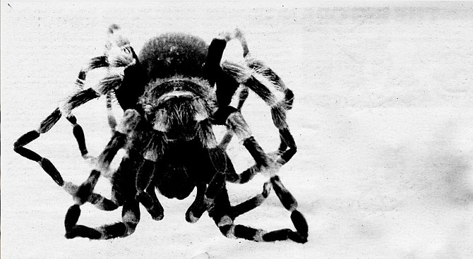"""Hairy Mygalomorph. """"Don't blow on tarantulas. They really hate that; it both frightens and irritates them."""" - Image by Jim Coit"""