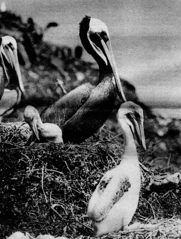 """Brown pelicans on the Coronados. """"If pelicans don't breed now, it's because people are going into the colonies and bothering them, or because their food supply has disappeared."""""""