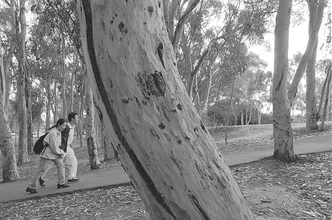 """Trees, by Terry Allen, consists of three lead-encased eucalyptus trees. Two of the trees, set in a eucalyptus grove that students have dubbed """"The Enchanted Forest,"""" emit sound."""